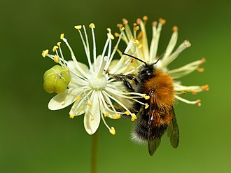 Tilia cordata - Tree bumblebee on the small-leaved lime