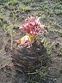 Boophone disticha SA SterkfonteindamFreeState20101012M.JPG