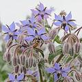 Borago officinalis-IMG 4349.jpg