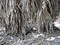 Borassus aethiopum 0071.jpg