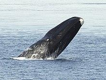 4. Bowhead whale (120 tons)