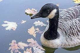Branta canadensis - Canada goose - Kharkiv Gorky Park - 05.jpg