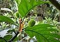 Breadfruit (Artocarpus altilis) - Flickr - gailhampshire.jpg