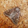 Bright-line Brown-eye. Lacanobia oleracea - Flickr - gailhampshire (1).jpg
