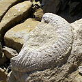 Broken ammonite fossil portland uk.jpg