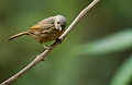 Brown cheeked fulvetta.jpg