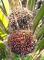 Buah kelapa sawit (44).JPG