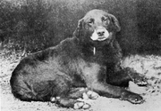 A surviving picture of Buccleuch Avon (b.1885), a foundational dog of most modern Labradors.