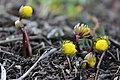Buds of Eranthis hyemalis.jpg