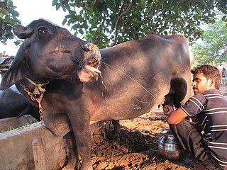 Nili-Ravi breed of domestic water buffalo