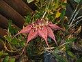 Bulbophyllum rothschildianum1.jpg