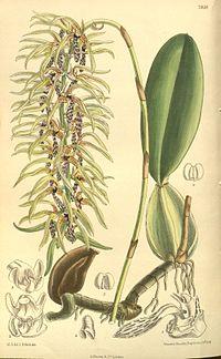 Bulbophyllum weddelii.jpg