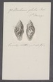 Bulimus glaber - - Print - Iconographia Zoologica - Special Collections University of Amsterdam - UBAINV0274 088 11 0015.tif