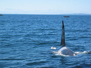Bull killer whale approaching a whale watching...