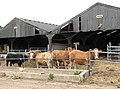 Bullocks on Salamanca Farm - geograph.org.uk - 1539619.jpg