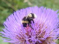 BumblebeeInThistle.jpg