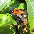 Bumblebee (Bombus hypnorum), Sandy, Bedfordshire (14364687041).jpg