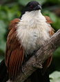 Burchell's Coucal, Centropus burchelli- a study at Kruger National Park, South Africa (13828952323).jpg