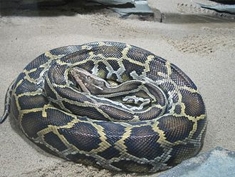 Burmese python - A coiled Burmese python at Berlin Zoo