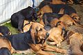 Burne Bloodhounds, Cheshire Game and Country Fair 2014.jpg