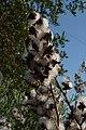 Bursting seed cases (13505985715).jpg