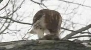 Bestand:Buteo jamaicensis -near Philadelphia, Pennsylvania, USA -eating rabbit -video clip-8.ogv