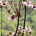 Butomus umbellatus-IMG 4700.jpg