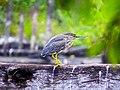 Butorides striata. striated Heron.jpg
