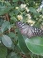 Butterflies 19.1.jpg
