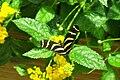 CAS-BioD-Canopy-Butterfly1.JPG