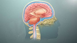 A Brain System That Appears To >> Nervous System Wikipedia