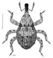 COLE Curculionidae Rainacalles volens.png