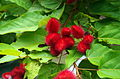 CR-tree-of-life-annatto.jpg