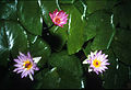 CSIRO ScienceImage 1767 Water lilies.jpg