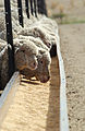 CSIRO ScienceImage 3079 Hand feeding sheep in feedlot.jpg