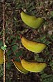 Caesalpinia mimosoides 15.JPG