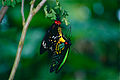Cairns Birdwings (Ornithoptera euphorion) mating (9875153404).jpg