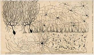 Neuron doctrine - Ramón y Cajal's drawing of the cells of the chick cerebellum, from Estructura de los centros nerviosos de las aves, Madrid, 1905