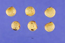 Cajanus cajan Steve Hurst 1.jpg