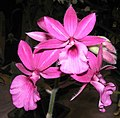 Calanthe Sedenii hybrid -香港沙田國蘭展 Shatin Orchid Show, Hong Kong- (9152017946).jpg