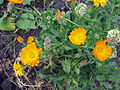 Calendula flowers and seeds.jpg