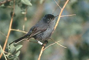 Aliso and Wood Canyons Wilderness Park - The California gnatcatcher inhabits undergrowth throughout the park.