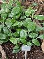 Caliphruria subedentata - Copenhagen Botanical Garden - DSC07379.JPG
