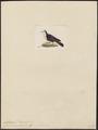 Caloenas erythroptera - 1820-1860 - Print - Iconographia Zoologica - Special Collections University of Amsterdam - UBA01 IZ15600303.tif