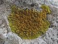 Caloplaca thallincola (Wedd.) Du Rietz 301172.jpg