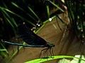 Calopteryx IMG 6410^.jpg