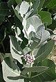 Calotropis procera phoenix.jpg