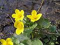 Caltha palustris1.JPG