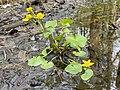 Caltha palustris Marsh-marigold kingcup (bekkeblom soleihov) pond marsh forest (liten dam i skog døde blader) Øvre Barkvik-Rødskogen, Tjøme, Oslofjorden, Norway 2021-05-16 IMG 0058.jpg