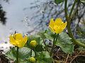 Caltha palustris opening.jpg